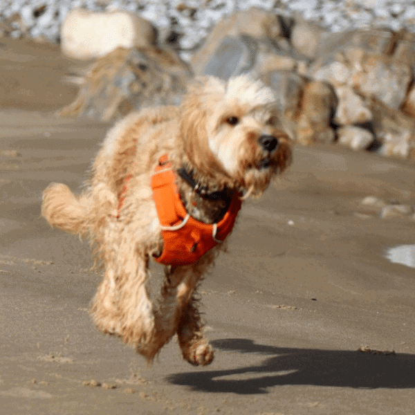 Best harness for cockapoo